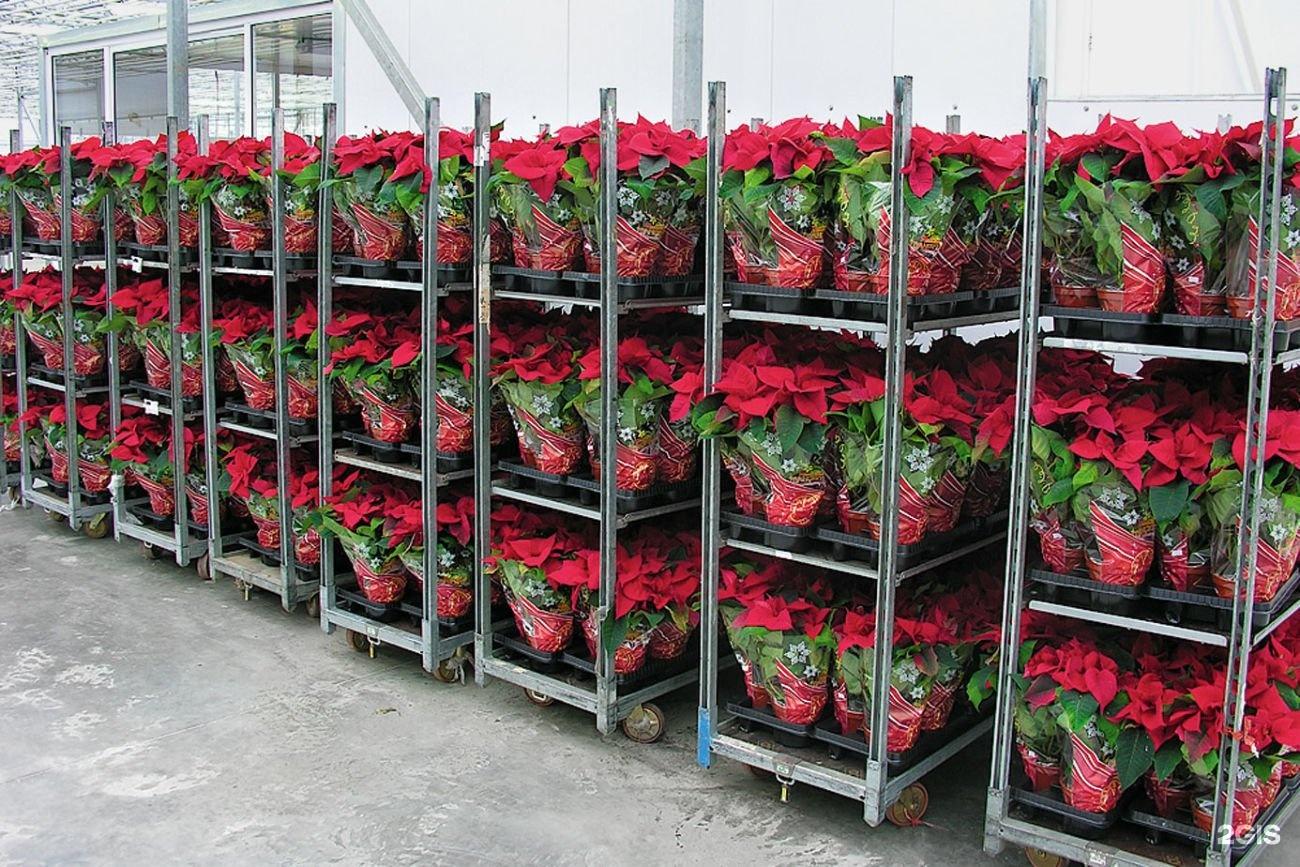 Теплицы по продаже цветы оптом, цветов оренбург